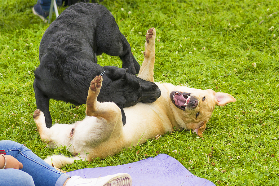 How Do Personal Injury Laws Apply When Two Dogs Fight?